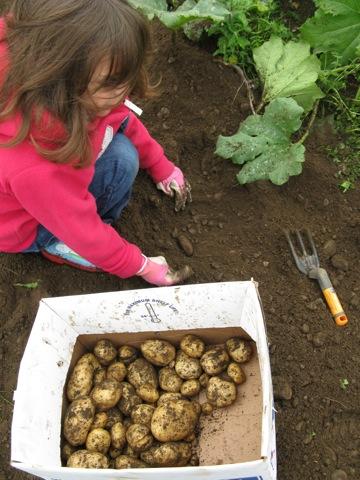 Potato harvest for Bite of Bainbrige