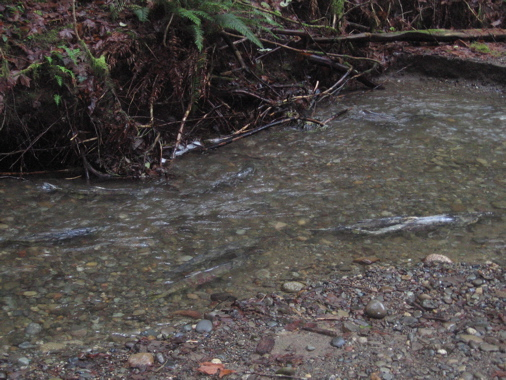 Salmon returning to Chico Creek (Photo: J. Garfunkel)