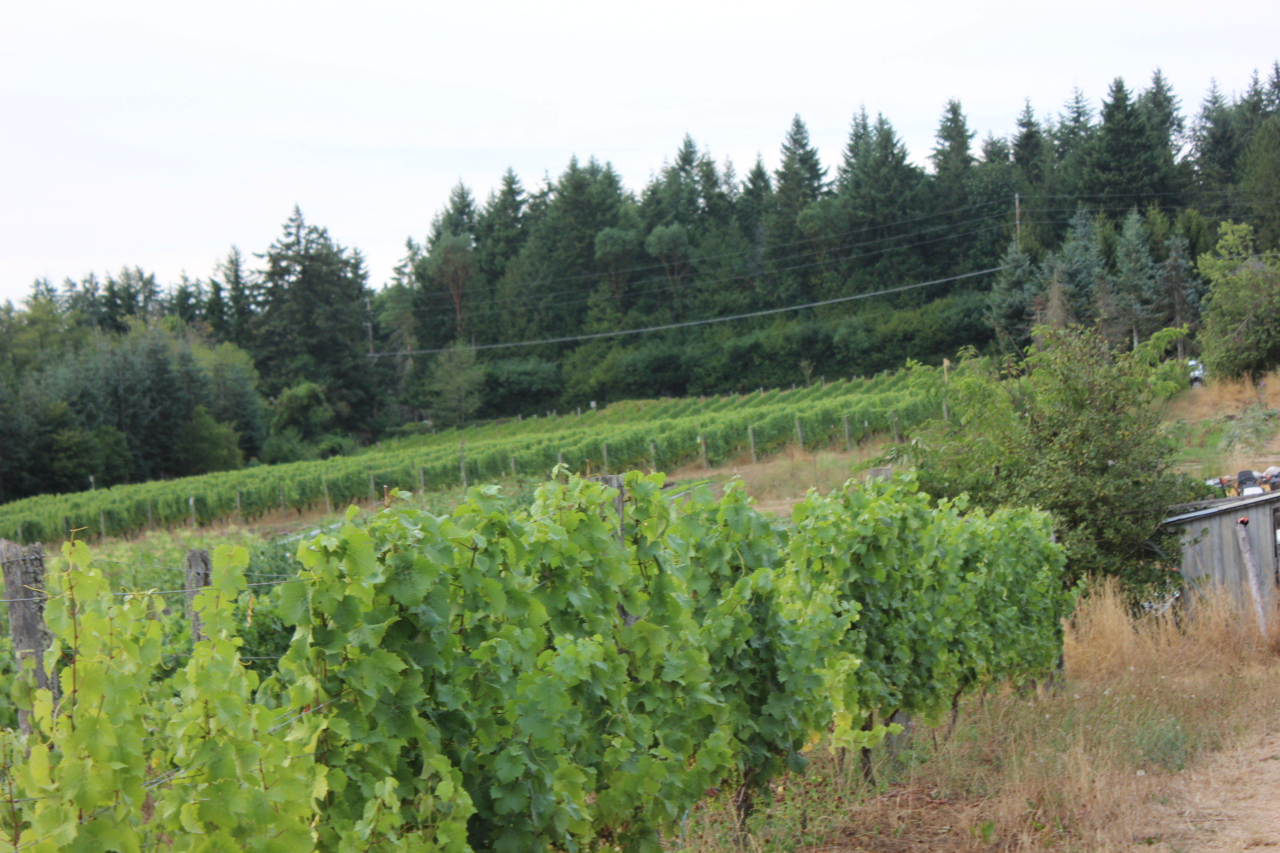 Bainbridge Island Vineyard
